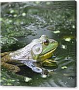 American Bull Frog Canvas Print