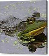 American Bullfrog Canvas Print