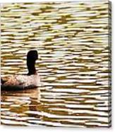 American Coot Floating By Canvas Print