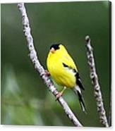 American Goldfinch - Single Male Canvas Print