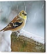 American Goldfinch - Spinus Tristis Canvas Print