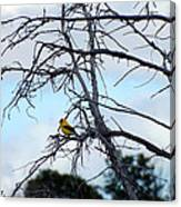 American Goldfinch In Tree Canvas Print