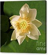 American Lotus Nelumbo Lutea Opening Canvas Print