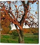 American Persimmon Tree Canvas Print