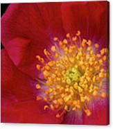 American Pillar Climbing Rose Canvas Print