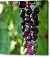 American Pokeweed Berries Canvas Print