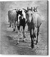 American Quarter Horse Herd In Black And White Canvas Print