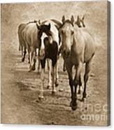 American Quarter Horse Herd In Sepia Canvas Print