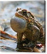 American Toad Croaking Canvas Print