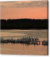 American White Pelicans At Sunset Canvas Print