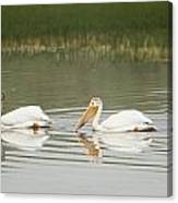 American White Pelicans Swim In A Line Canvas Print