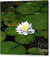 American White Waterlily Canvas Print