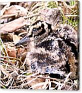 American Woodcock Chick Canvas Print