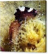 Amphipods On A Sponge Canvas Print