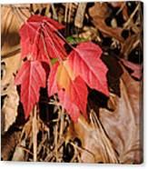 Amur Maple Seedling Canvas Print