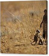 An Adult Meerkat Stands Guard Over Two Canvas Print