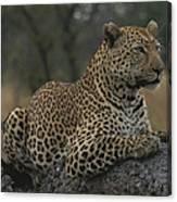 An Alert Leopard Rests On A Fallen Tree Canvas Print
