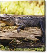 An American Alligator On A Log Canvas Print