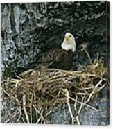 An American Bald Eagle Perches Canvas Print