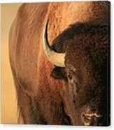 An American Bison In The Early Morning Canvas Print