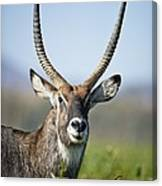 An Antelope Standing Amongst Tall Canvas Print