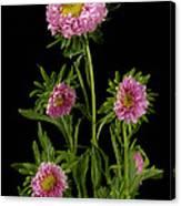 An Aster Flower Aster Ericoides Canvas Print