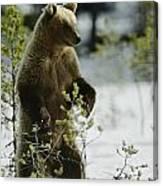 An Brown Bear Ursus Arctos Runs Canvas Print