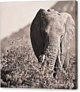 An Elephant Walking In The Bush Samburu Canvas Print