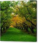 An Orchard Row  Canvas Print