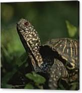 An Ornate Box Turtle Surveys Canvas Print