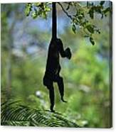 An Unidentified Monkey Hangs Canvas Print