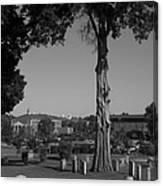Ancient Cedars And Tombstones Canvas Print