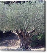 Ancient Old Olive Tree In South France Canvas Print