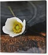 Anemone Alone  Canvas Print
