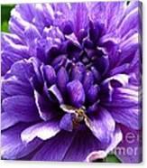 Anemone Coronaria Named Lord Lieutenant Canvas Print