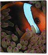 Anemonefish In Purple Tip Anemone Canvas Print