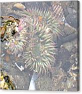 Anemones And Shells Canvas Print