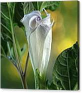 Angel's Trumpet Bud Canvas Print
