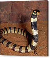 Angolan Coral Snake Defensive Display Canvas Print