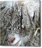 Angora Goat Canvas Print