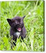 Angry Kitten Canvas Print