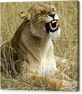 Angry Lioness Canvas Print
