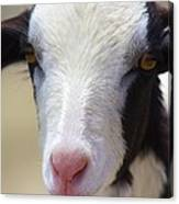 Anguilla Goat Canvas Print
