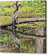 Anhinga And Reflection Canvas Print