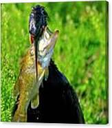 Anhinga And The Fish Canvas Print