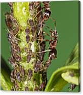 Ant Formicidae Pair Protecting Aphids Canvas Print