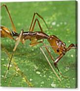 Ant Showing Large Mandibles Guyana Canvas Print