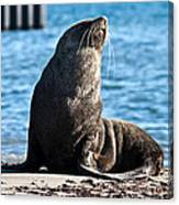 Antarctic Fur Seal 06 Canvas Print
