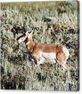 Antelope In Lamar Valley Canvas Print