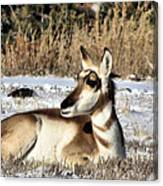 Antelope In Wintertime Canvas Print